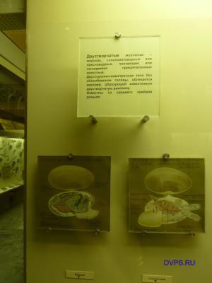 "Фото для ""Двустворчатые моллюски"""