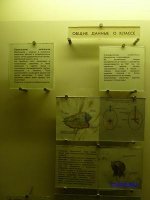 Брюхоногие моллюски (Gastropoda)