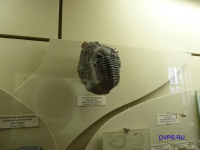 Спинной щит факопса. Phacops rana. Средний девон, Марокко. Дар д-ра Т. Манниига.