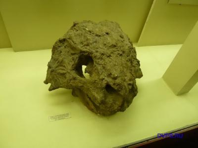 Череп парейазавра скутозавра