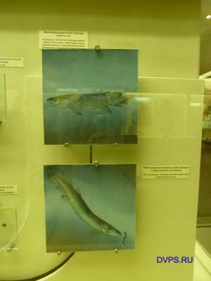 Двоякодышащая рыба диптер Dipterus sp.