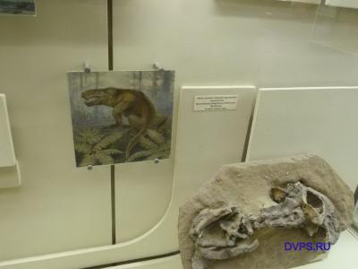 Часть скелета хищной горгонопии завроктона Sauroctonus progressus (Hartmann-Weinberg) Татария. Семин овраг