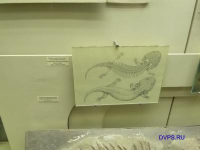 Скелет и реконструкция мышечной системы жабернодышащей амфибии двинозавра. Рис. А.П. Быстрова