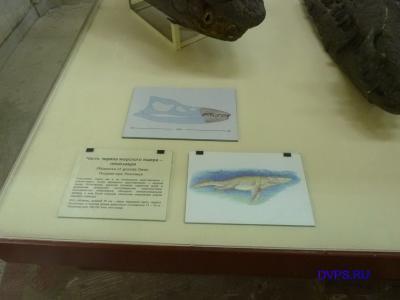 Часть черепа морского ящера - плиозавра