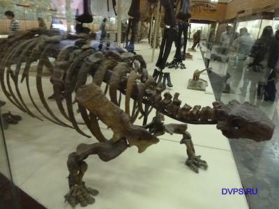 Скелет панцирного растительноядного динозавра таларура…