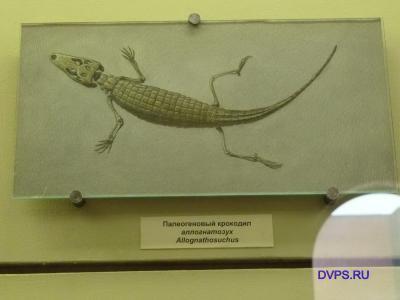 Палеогеновый крокодил аллогнатозух Allgnathosuchus