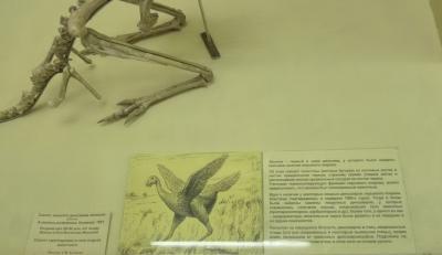Скелет хищного динозавра авимима (слепок), Avimimmus portentosus Kurzanov