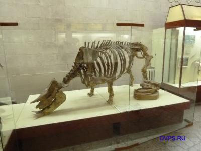 Полный скелет гиппариона - Hipparion sp.